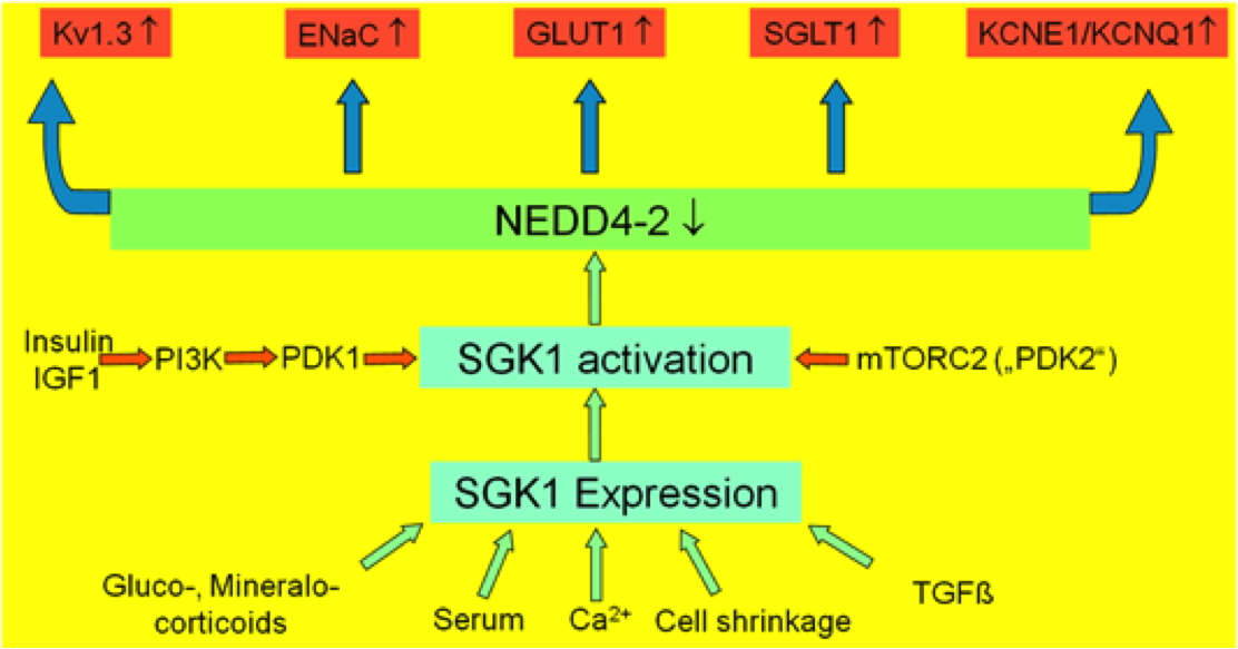 Technology for Serum and Glucocorticoid regulated kinase (SGK) inhibitors