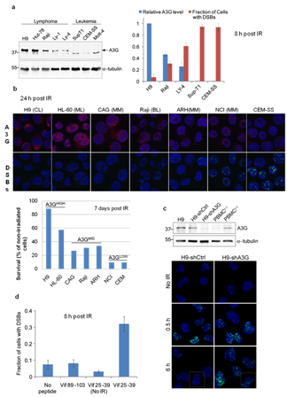 Cellular APOBEC3 Proteins and Modulators Thereof for Regulating DNA Repair Processes in the Treatment of Proliferative Disorders
