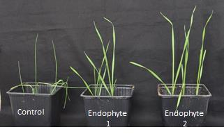 Plant endophytic fungi for crop protection and resistance to abiotic stress