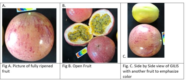 GILIS ('280-15') PASSION-FRUIT CULTIVAR – PINK WITH PURPLE SPOTS AND 2X BIGGER
