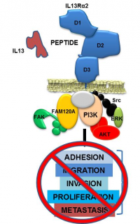 Peptide for cancer control linked to IL13R